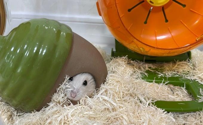 巣箱にはいるハムスター
