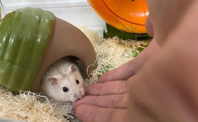 手を噛むハムスター